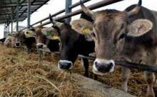 الحوض الغربي:  عصابة لصوص تسرق قطيع من الأبقار (تفاصيل)